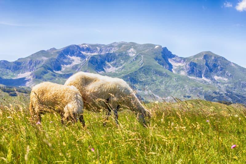 Πρόβατα κατά τη βοσκή στο πράσινο λιβάδι στοκ εικόνες