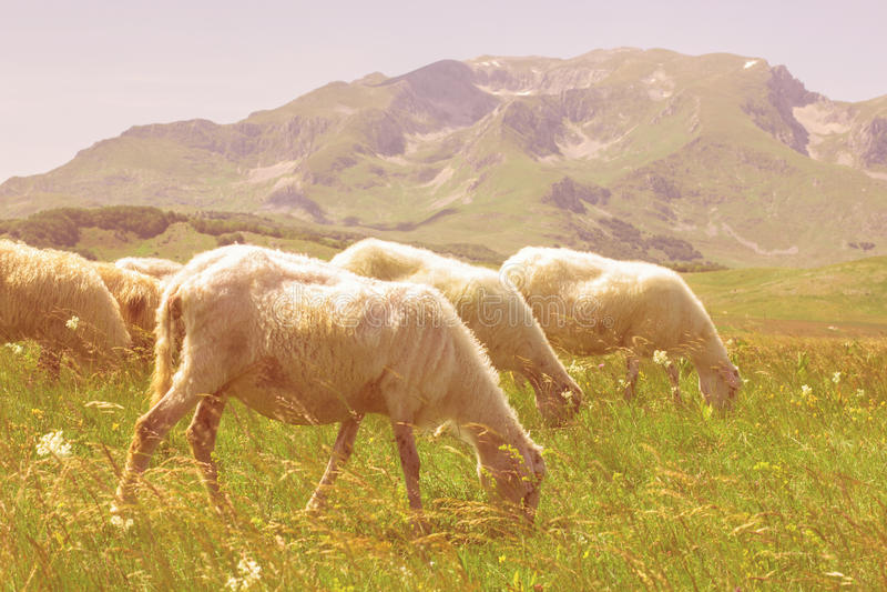 Πρόβατα κατά τη βοσκή στο πράσινο λιβάδι στοκ φωτογραφία με δικαίωμα ελεύθερης χρήσης