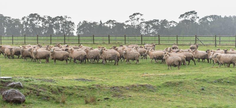 Πρόβατα κοντά σε Puerto Varas, Χιλή στοκ φωτογραφία με δικαίωμα ελεύθερης χρήσης