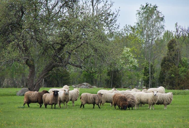 πρόβατα λιβαδιού στοκ φωτογραφίες