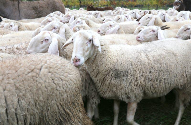 Πρόβατα με την παχιά άσπρη γούνα σε ένα κοπάδι με τα μέρη των προβάτων στοκ εικόνα