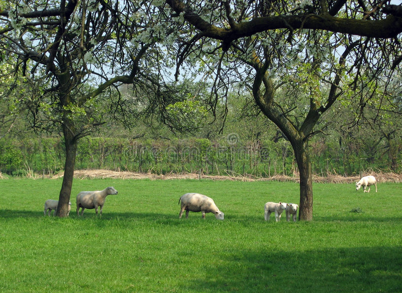 Download πρόβατα οπωρώνων στοκ εικόνα. εικόνα από οπωρώνας, επαρχία - 110319