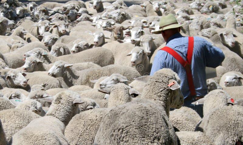 πρόβατα πανταχού παρόντα στοκ εικόνες