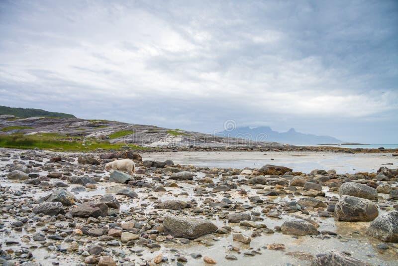 Πρόβατα που εξερευνούν τους βράχους κατά τη διάρκεια ενός lowtide στη βόρεια Νορβηγία στοκ εικόνα