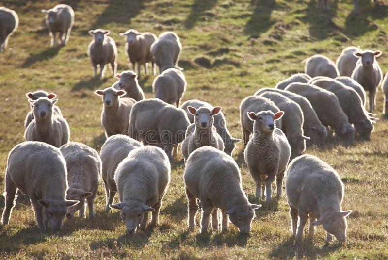 πρόβατα που σκιαγραφούνται στοκ εικόνες