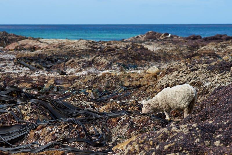 Πρόβατα που ταΐζουν με γιγαντιαίο Kelp στοκ φωτογραφία με δικαίωμα ελεύθερης χρήσης