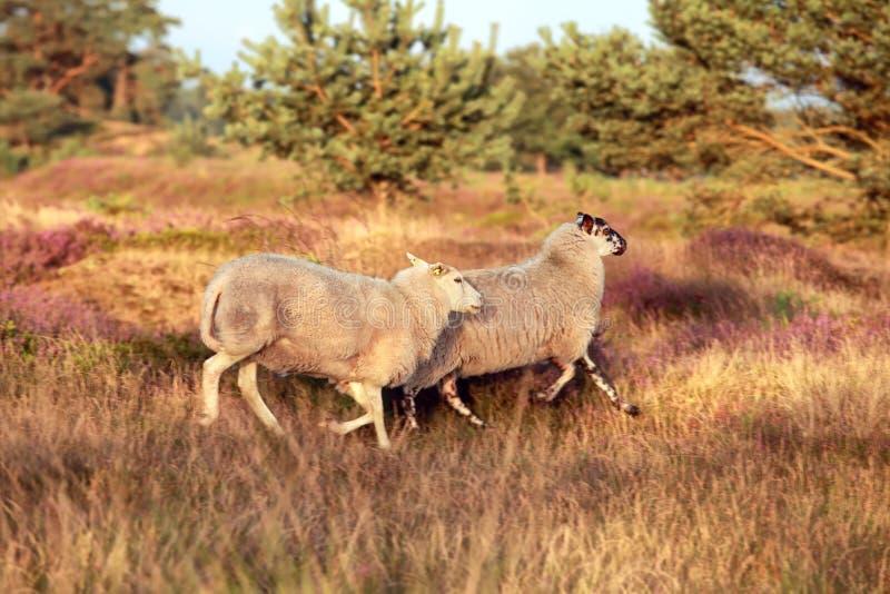 Πρόβατα που τρέχουν στο λαντ στο ηλιοβασίλεμα στοκ φωτογραφίες με δικαίωμα ελεύθερης χρήσης