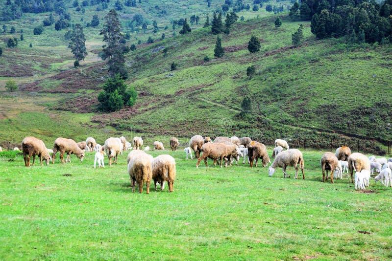 Πρόβατα που τρώνε τη χλόη στον κήπο χλόης στοκ εικόνες