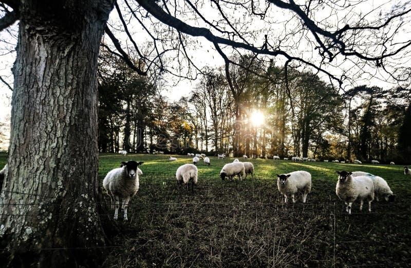 Πρόβατα σε έναν τομέα των δέντρων στο ηλιοβασίλεμα, UK στοκ εικόνες με δικαίωμα ελεύθερης χρήσης