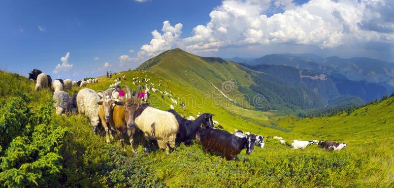 Πρόβατα σε ένα λιβάδι βουνών στοκ εικόνα με δικαίωμα ελεύθερης χρήσης