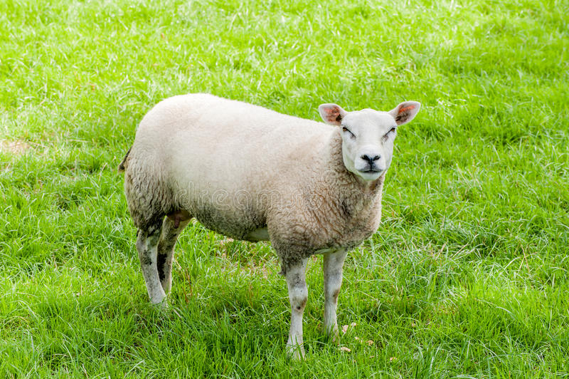 Πρόβατα σε ένα λιβάδι στοκ εικόνα με δικαίωμα ελεύθερης χρήσης