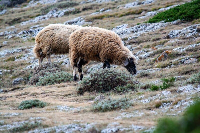 Πρόβατα σε ορεινό βοσκότοπο στοκ φωτογραφίες