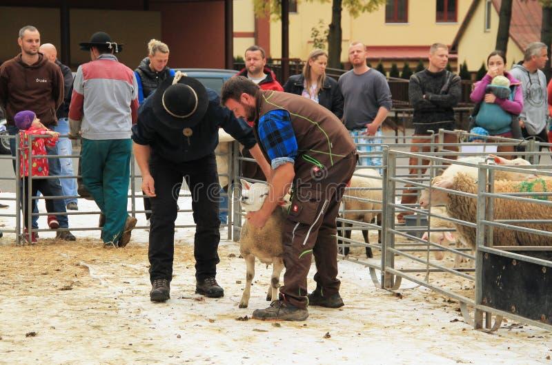 Πρόβατα στην έκθεση στοκ φωτογραφία με δικαίωμα ελεύθερης χρήσης