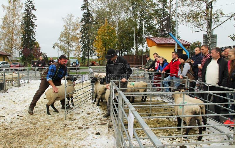 Πρόβατα στην έκθεση στοκ φωτογραφίες