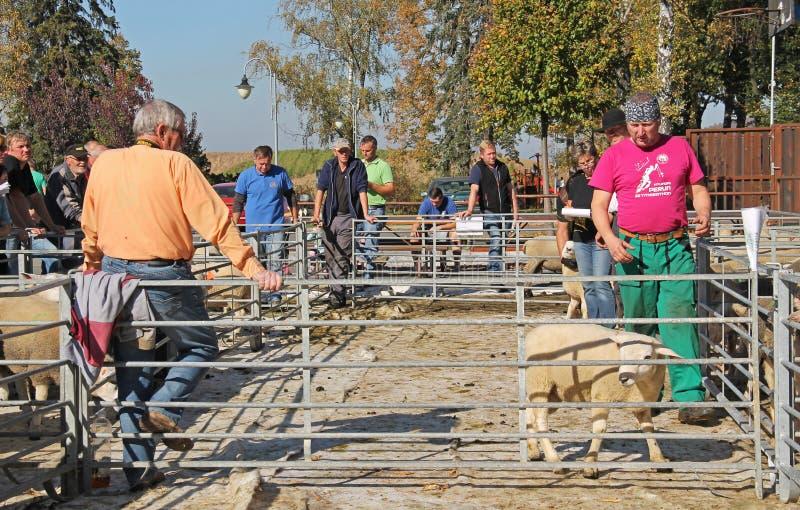 Πρόβατα στην έκθεση στοκ φωτογραφίες με δικαίωμα ελεύθερης χρήσης