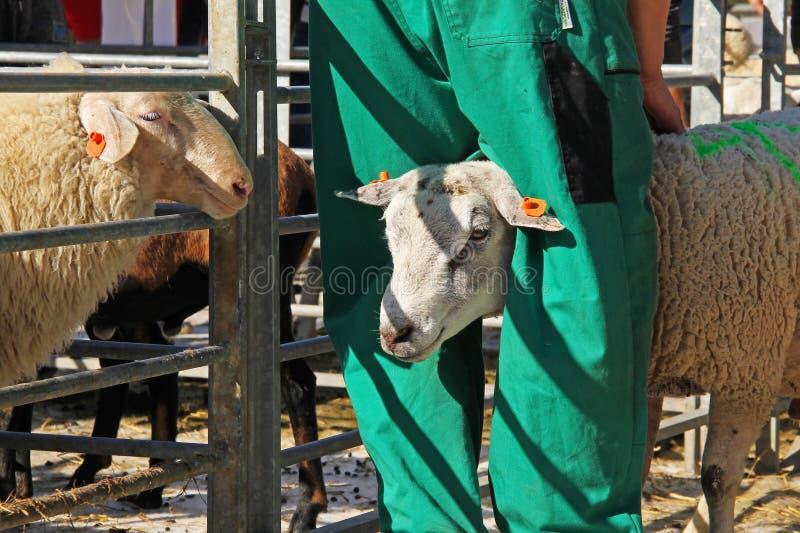 Πρόβατα στην έκθεση στοκ εικόνες