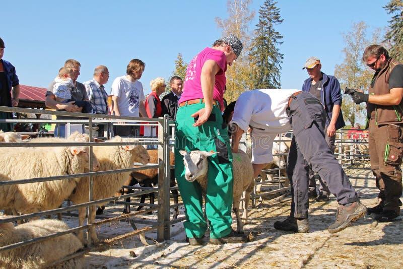 Πρόβατα στην έκθεση στοκ εικόνα με δικαίωμα ελεύθερης χρήσης