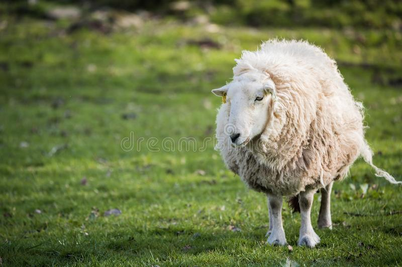 Πρόβατα στην επαρχία, brecon αναγνωριστικά σήματα στοκ φωτογραφίες με δικαίωμα ελεύθερης χρήσης