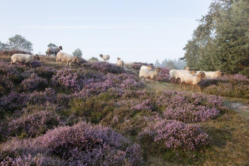 Πρόβατα στην πορφυρή ανθίζοντας ερείκη στοκ φωτογραφία με δικαίωμα ελεύθερης χρήσης