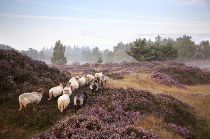 Πρόβατα στην πορφυρή ανθίζοντας ερείκη στοκ φωτογραφία