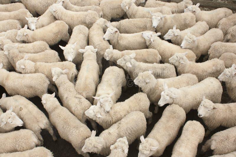 Πρόβατα στη μάνδρα στοκ φωτογραφία