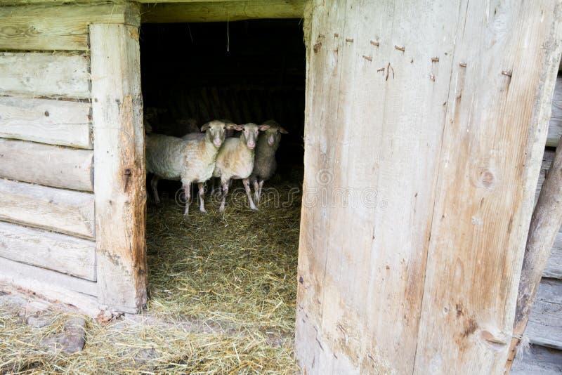 Download Πρόβατα στη σιταποθήκη στοκ εικόνα. εικόνα από κοίταγμα - 62704315