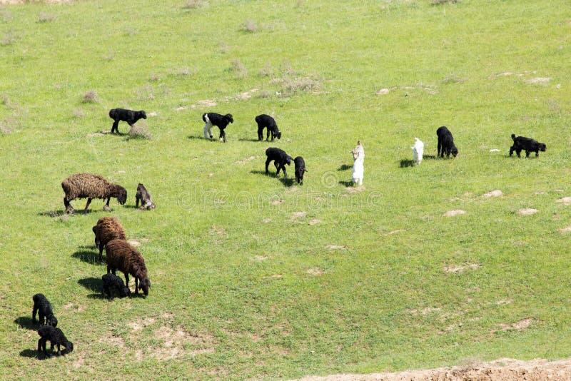 Πρόβατα στη φύση στοκ φωτογραφίες