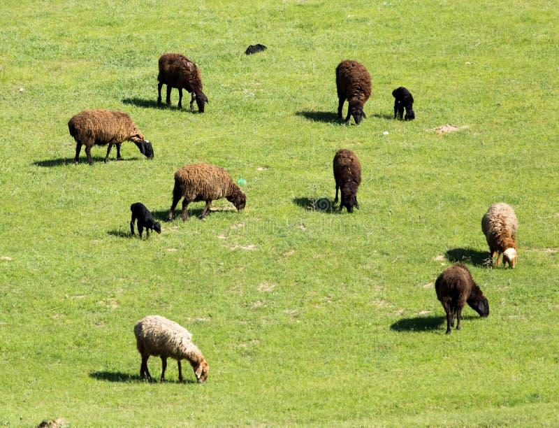 Πρόβατα στη φύση στοκ φωτογραφίες με δικαίωμα ελεύθερης χρήσης
