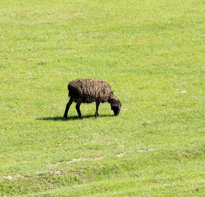 Πρόβατα στη φύση στοκ εικόνες