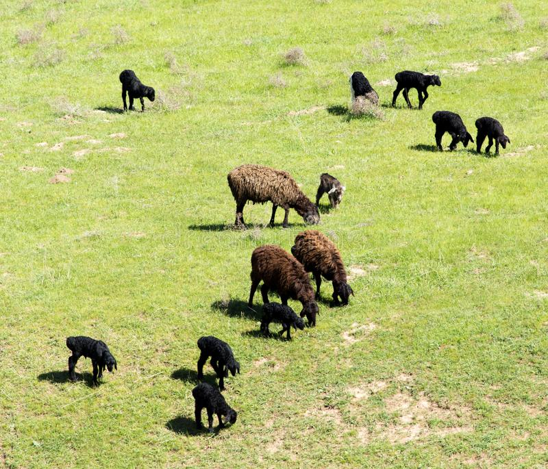 Πρόβατα στη φύση στοκ φωτογραφία