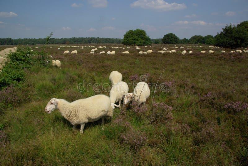 Πρόβατα στο λαντ στοκ εικόνες