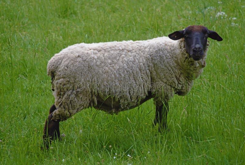 Πρόβατα στο λιβάδι με την πράσινη χλόη στοκ φωτογραφία