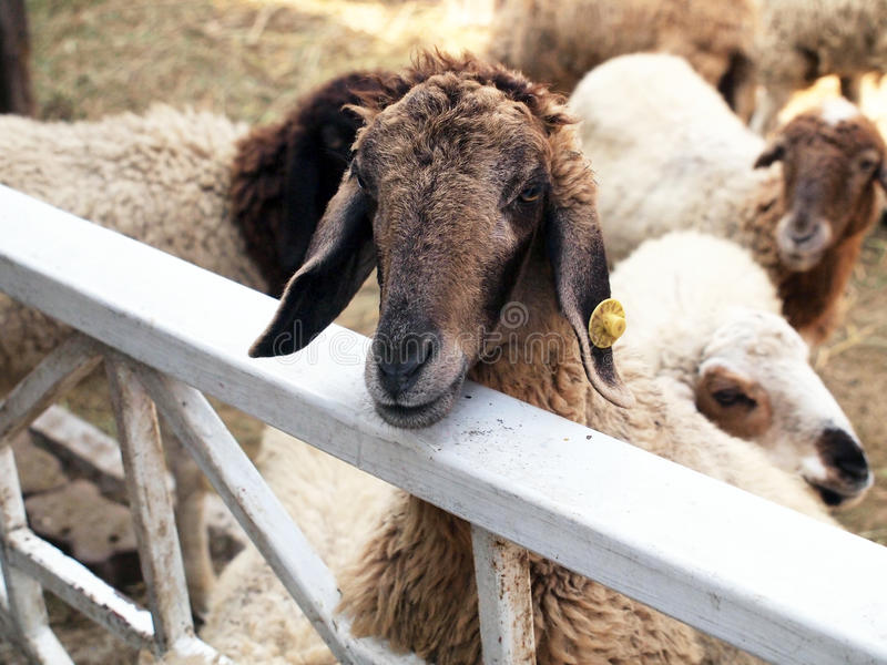 Download Πρόβατα στο κλουβί στοκ εικόνες. εικόνα από ανασκόπησης - 62706048