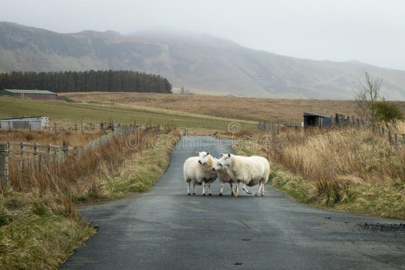 Πρόβατα στο δρόμο στοκ φωτογραφία