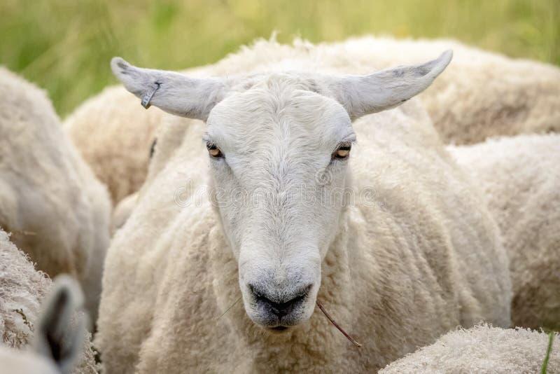 Πρόβατα στο σημείο κορωνών, Νέα Υόρκη στοκ φωτογραφία