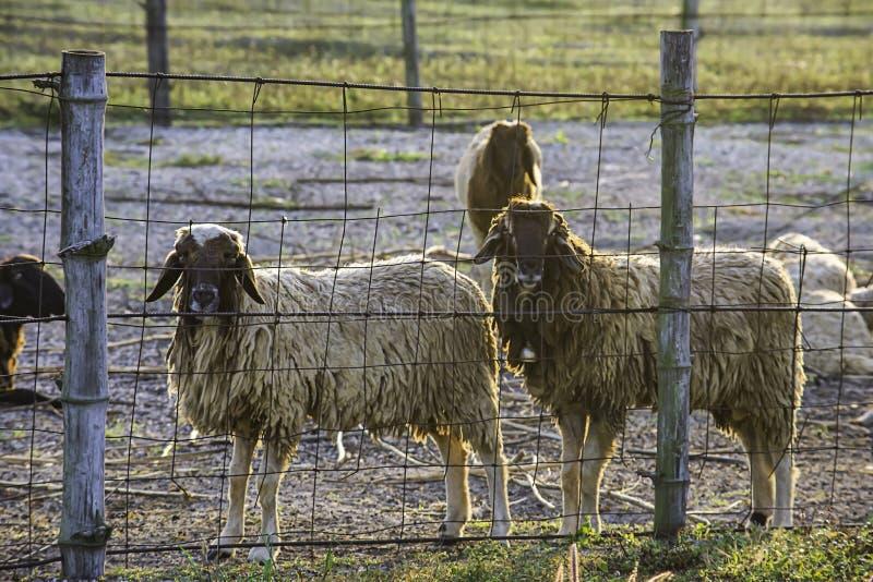 Πρόβατα στο φράκτη στη χλόη και τον ήλιο πρωινού στοκ εικόνες