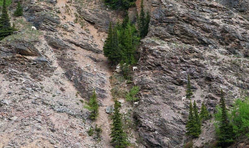πρόβατα της Αλάσκας dall στοκ εικόνες