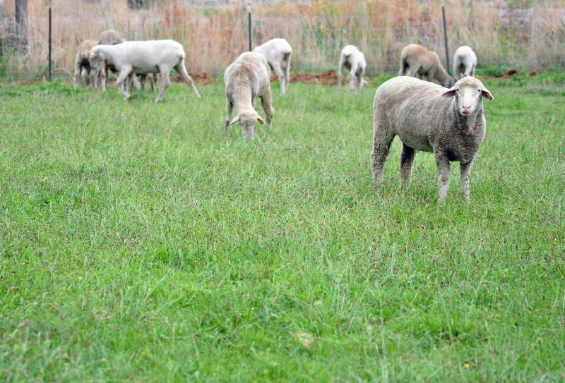 Πρόβατα της Κολούμπια στοκ εικόνα με δικαίωμα ελεύθερης χρήσης