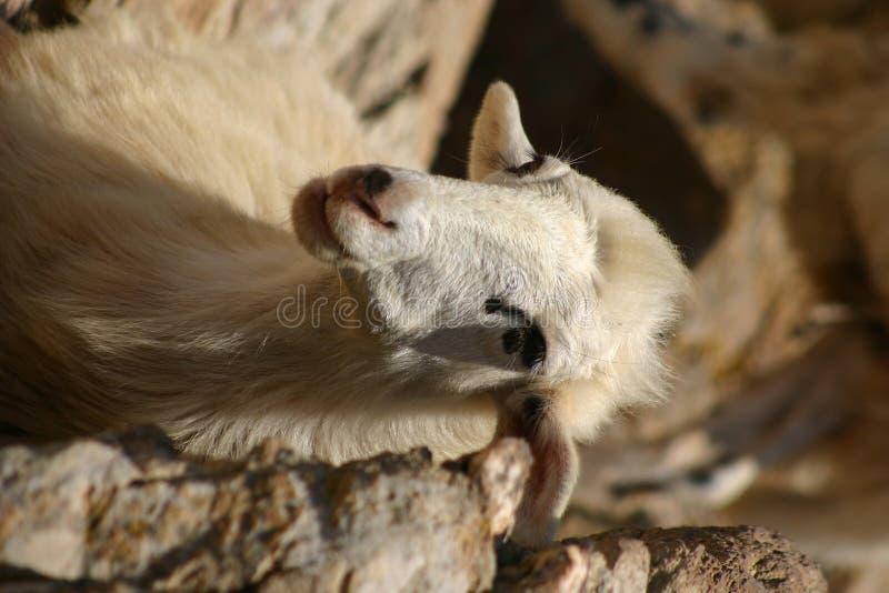 πρόβατα της Κρήτης στοκ φωτογραφία με δικαίωμα ελεύθερης χρήσης