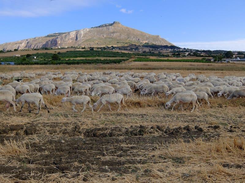 Πρόβατα της Σικελίας και της ΑΜ Erice στοκ φωτογραφία