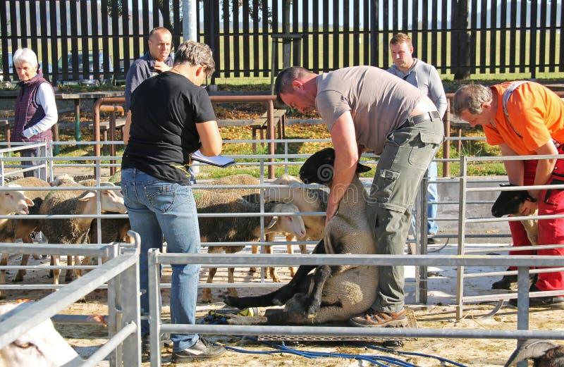 Πρόβατα του Σάφολκ στην έκθεση στοκ εικόνες με δικαίωμα ελεύθερης χρήσης