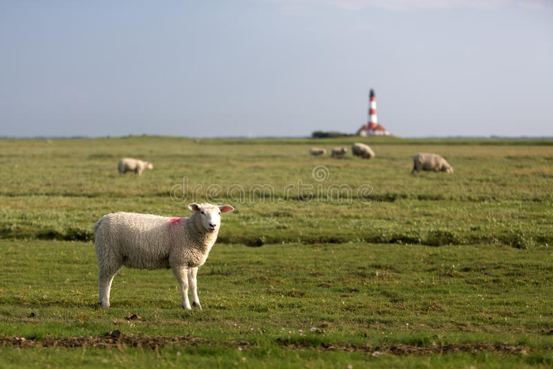 πρόβατα φάρων στοκ φωτογραφίες με δικαίωμα ελεύθερης χρήσης