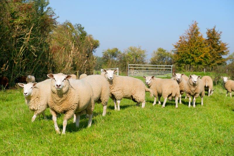 πρόβατα χλόης βοοειδών στοκ φωτογραφία με δικαίωμα ελεύθερης χρήσης