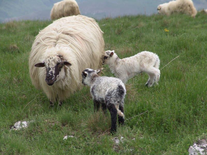 Download πρόβατα στοκ εικόνες. εικόνα από babette, δέρας, ιματισμός - 121596