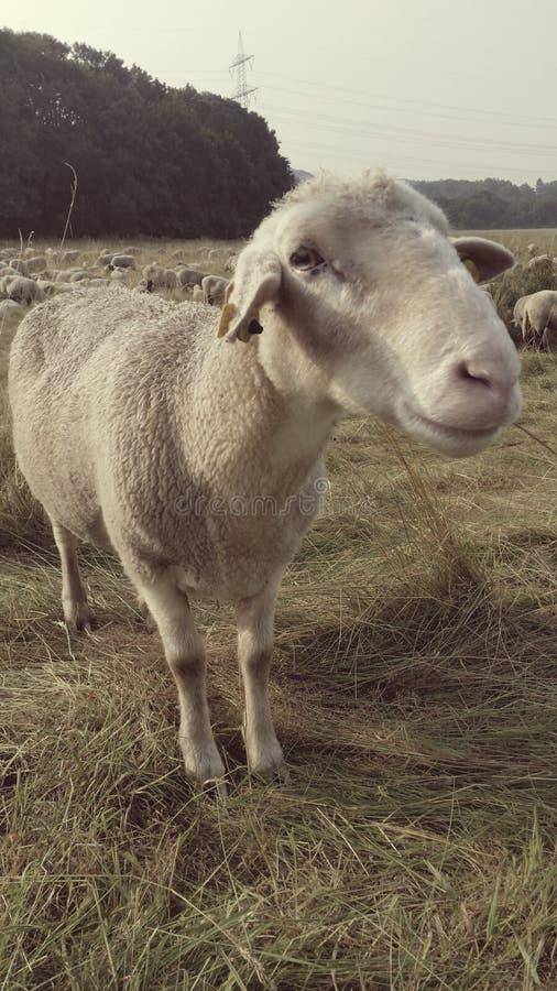 Πρόβατα, στοκ φωτογραφία με δικαίωμα ελεύθερης χρήσης