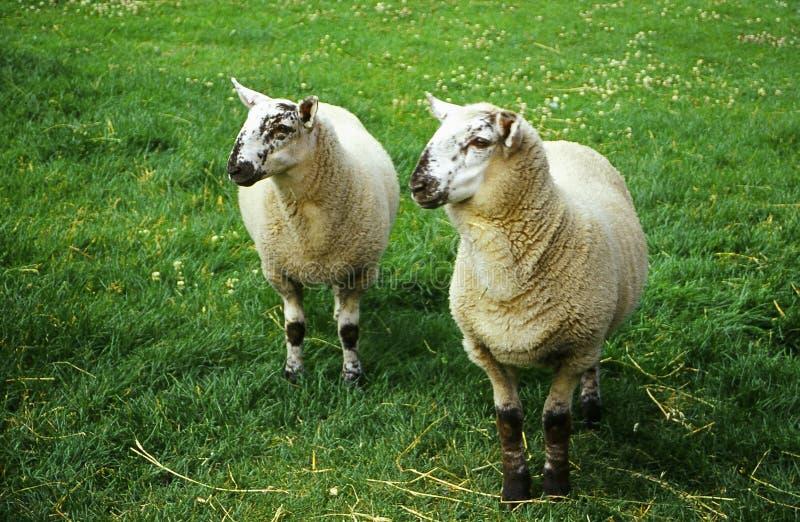 Download πρόβατα στοκ εικόνα. εικόνα από προσεκτικός, αγρόκτημα, βοήστε - 93131