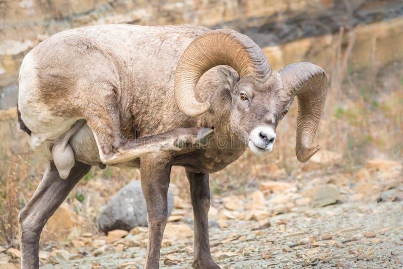 Πρόβατα Bighorn με τους μεγάλους όρχεις στοκ εικόνα με δικαίωμα ελεύθερης χρήσης