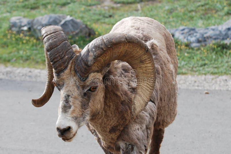 Πρόβατα Bighorn στο δρόμο στοκ φωτογραφία με δικαίωμα ελεύθερης χρήσης