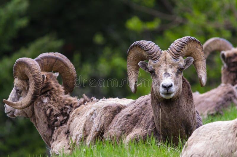 Πρόβατα Bighorn - συνεδρίαση canadensis Ovis που κοιτάζει επίμονα στη κάμερα στοκ φωτογραφία