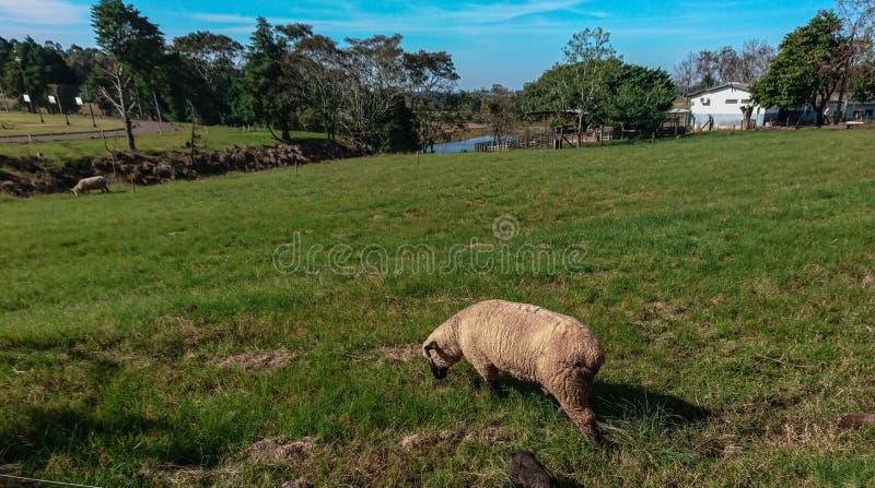 Πρόβατα Grazin στη νότια Βραζιλία 02 στοκ εικόνες